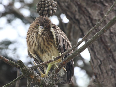 This Night Heron Chick was seen on May 30th on a gray day--not much else to capture in bad light.