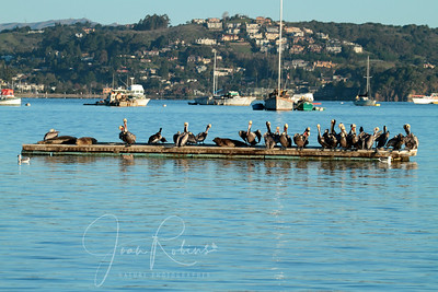 Raft of Pelicans who did not dive for Herring today