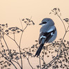 Possible Northern Shrike?