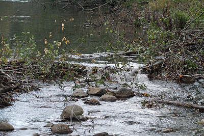 The rangers kept pulling down the beaver dam because it not only stopped the salmon from moving up the creek, but it flooded the various tourist areas. Big controversy about this, as the Beavers are older inhabitants of the area. Salmon were introduced more recently.