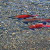 Kokanee Salmon. Fresh-water salmon. They spawn in the creek, dig shallow holes in the gravel creek bed for the eggs, the males fertilize the eggs and both parents protect the area. They may do this several time, but the female soon dies, the male dies a week or so later. Lots of dead fish around.