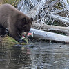 Cubs chew on the dead salmon but they apparently prefer berries and other plant life.