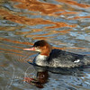 Merganser with complementary reflection