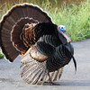 Wild Turkey, Tennessee Valley, Mill Valley, California
