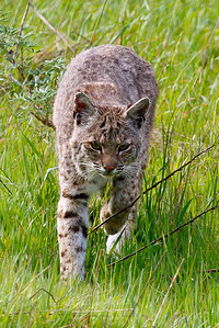 Bobcat,, Tennessee Valley, Mill Valley, California