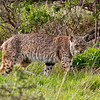Bobcat, Tennessee Valley, Mill Valley, California