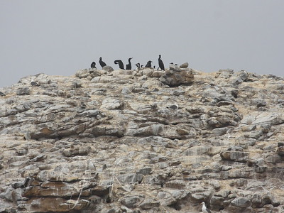 Cormorants and Common Murres--having a hard time breeding and surviving with the changing climate