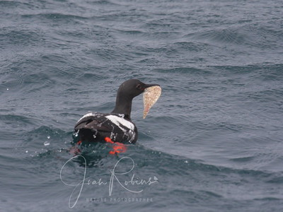 Pigeon Guillemot with some kind of catch!