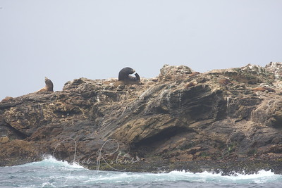 Many Seals and Sea Lions