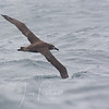 Black-footed Albatros