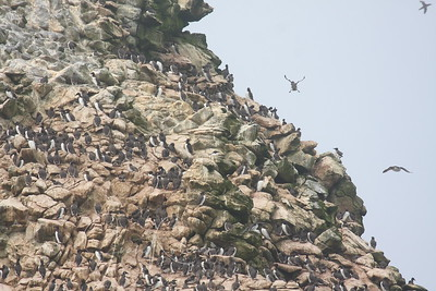 They don't look like they're in trouble--so many Murres
