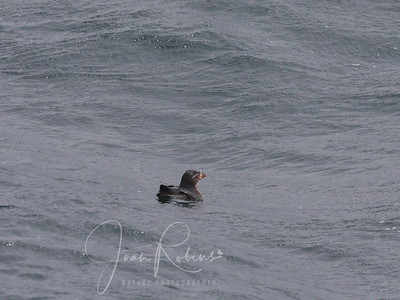 Rhinoceros Auklet--has a pale yellow horn projecting vertically above the nostril.