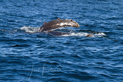 Soon we saw a mom and youngster swimming along side-by-side. The young one was about 3/4 the size of the mom.