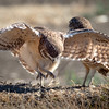 Baby Burrowing Owl Pouncing, Yolo County CA