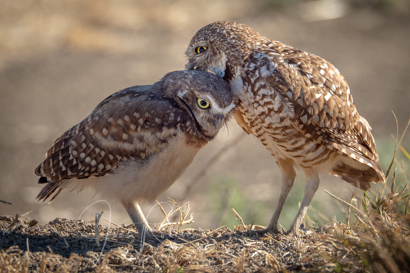 Mama grooming young Burrowing Owl, Yolo County CA