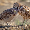 Mama preening young Burrowing Owl, Yolo County CA
