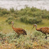 Sandhill Cranes Along the Upper Green Ri
