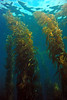 Giant kelp, Macrocystis pyrifera<br /> Merry's Reef, Palos Verdes, California