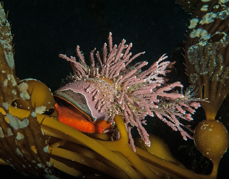 Norris topsnail with a fancy plume of coralline algae