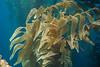 Giant kelp covered in the bryozoan, Membranipora membranacea