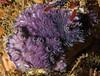 Purple encrusting bryozoan, Disporella separata<br /> Point Vicente Pinnacles, Palos Verdes, California