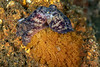 Pacific red octopus and eggs that have acquired a rust color after being laid under a rusty plate.  <br /> WW2 Navy LCM3 (Landing Craft Mechanized), Torrance Beach, Los Angeles County, California