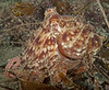 Pacific Red Octopus - Octopus rubescens