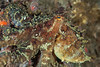 Two-spot octopus, Octopus bimaculatus<br /> Halfway Reef, Palos Verdes, California