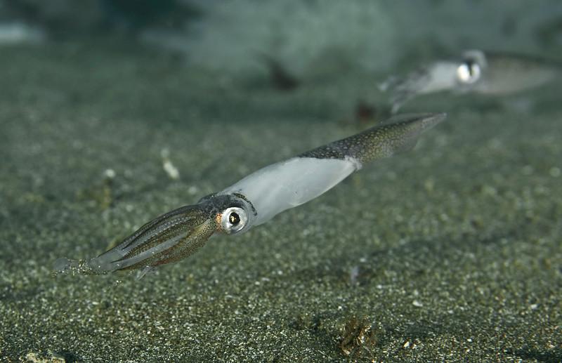 Doryteuthis opalescens, California Market Squid