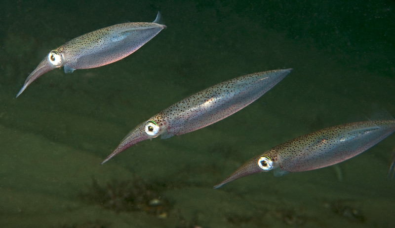 Doryteuthis opalescens, California Market Squid