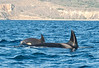 Two female killer whales