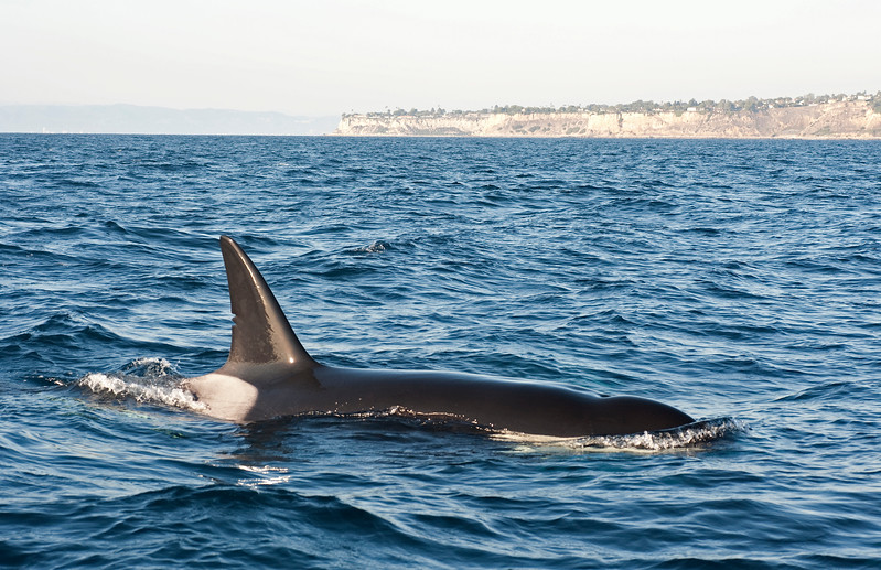 Female Killer Whale - CA140 Emma