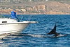 Alisa Schulman-Janiger and husband document pod of CA51 and CA140 killer whales traveling together - Bigg's/transient orcas