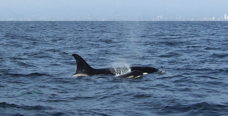 We caught up with the whale watch boat, Voyager, as it followed a pod of 4 - 6 killer whales.  This female has a very new calf.
