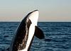 Orcinus orca, Killer whale