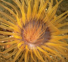 Tube-dwelling anemone, Pachycerianthus fimbriatus<br /> <br /> Ted's Pinnacle, Palos Verdes, California