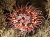 Urticina* mcpeaki   <br />  Note:  Dr. Karen Sanamyan questions whether this anemone belongs in the genus Urticina.<br /> <br /> Biodome (Reef), Palos Verdes, California