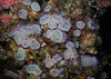 "Aggregating anemone, Anthopleura elegantissima<br /> ID thanks to Karen Sanamyan<br /> <a href=""http://actiniaria.com/"">http://actiniaria.com/</a><br /> <br /> Oil platform Ellen, Long Beach, California"