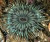 Anthopleura sola<br /> Biodome (Reef), Palos Verdes, California