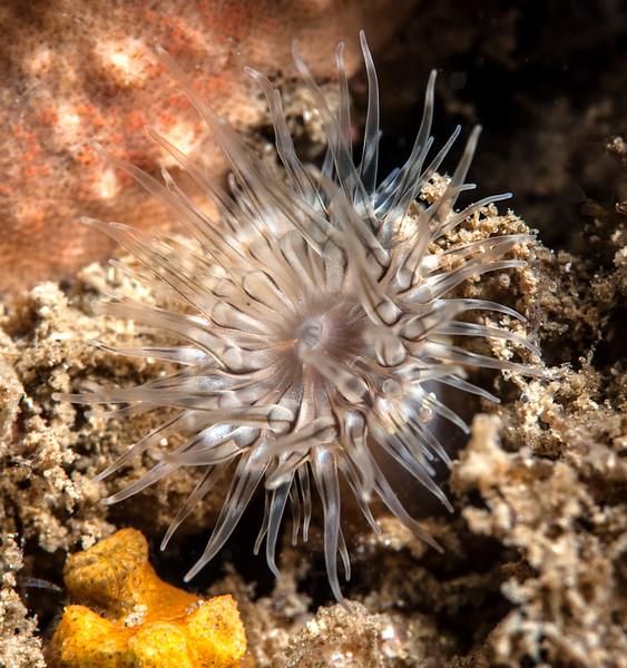 Anemone ID needed<br /> Little Reef, Palos Verdes, California