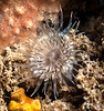 Anemone ID needed<br /> Little Reef, Palos Verdes, California
