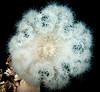 Giant Plumose Anemone