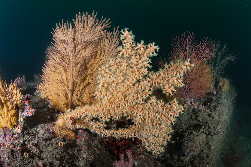 Golden gorgonian and yellow zoanthid<br /> Hermosa Artificial Reef, Hermosa Beach, California