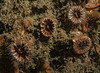 """Brown cup coral, Paracyanthus stearnsii<br /> From Greg Jensen:  """"A brown, solitary cup coral that is distinctly OVAL in outline"""".  <br /> Garden Spot, Palos Verdes, California"""