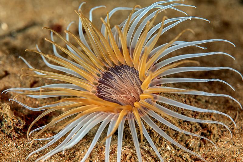 Tube-dwelling anemone, Pachycerianthus fimbriatus<br /> <br /> Kevin's Reef, Palos Verdes, California