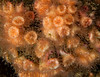 Colonial cup coral, Coenocyathus bowersi<br /> Colors include shades of orange & pink.  Prefers protected areas such as the undersides of reefs and in caves.<br /> <br /> Garden Spot, Palos Verdes, California