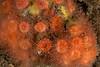 Colonial cup coral, Coenocyathus bowersi<br /> Biodome (Reef), Palos Verdes, California