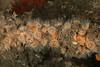 Diadumene leucolena