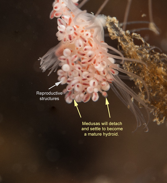 Pink-Mouth Hydroid Reproducing