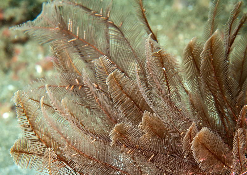 Ostrich plume hydroid, Aglaophenia sp.  <br /> Torrance Reef, Los Angeles County, California